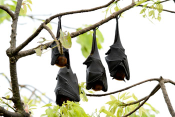 bats hanging from tree