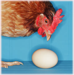 rooster and egg