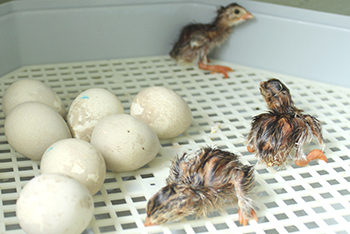 chicks hatch
