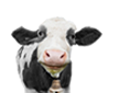 Graphic - Jellybean the Cow