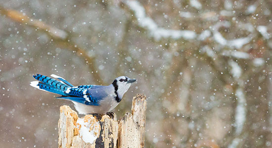 bluejay bird in winter