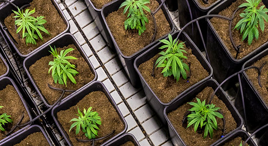 Wisconsin Lawyer: The Business of Marijuana in Wisconsin: